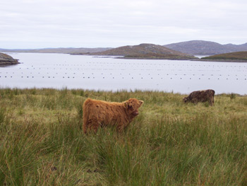 Highland Cow with Calf outside the house